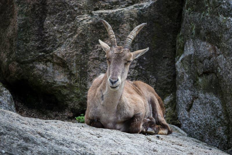 Stambecco maschio o capra ibex della montagna che si siede su una roccia fotografie stock libere da diritti