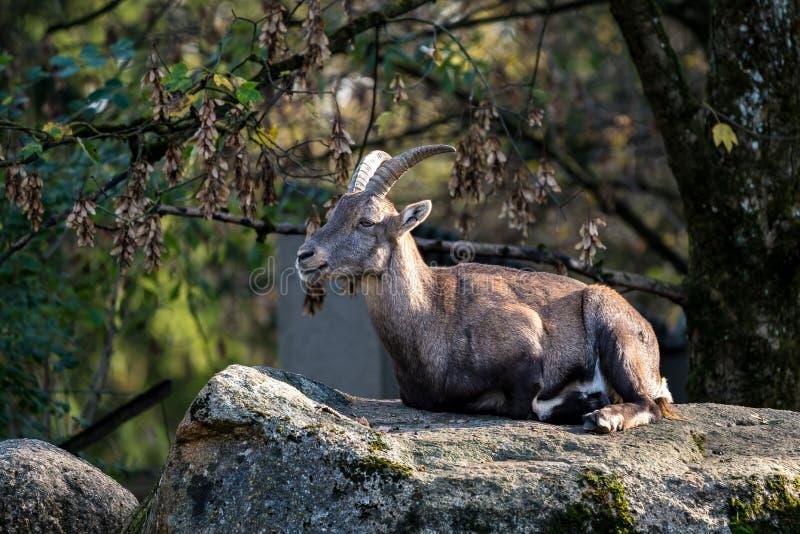 Stambecco maschio o capra ibex della montagna che si siede su una roccia immagine stock libera da diritti