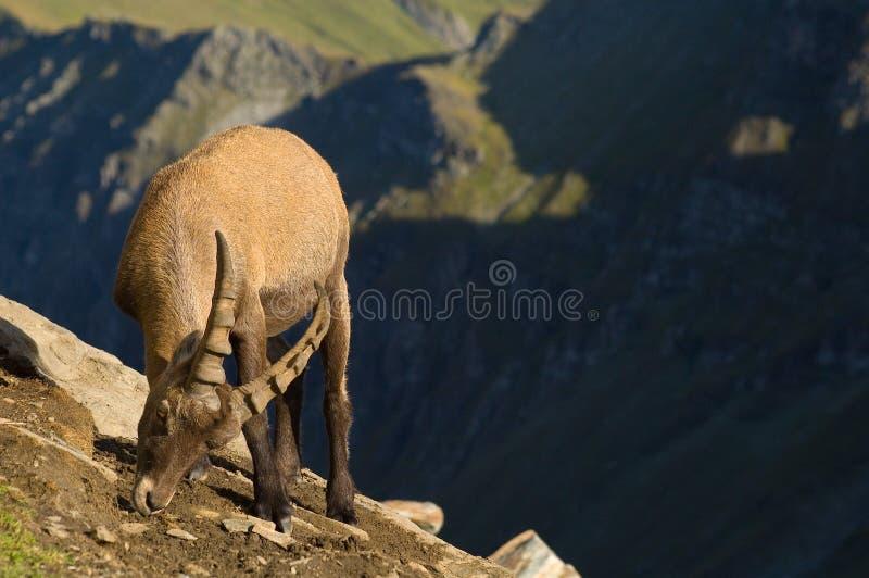 Stambecco maschio sul fianco di una montagna immagine stock libera da diritti