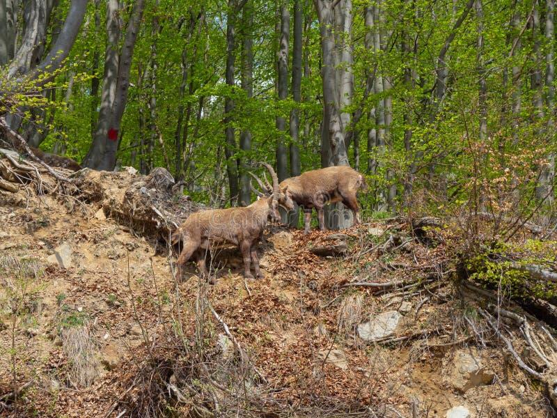 Stambecco o stambecco delle Alpi alpino nella lotta di stagione primaverile con i corni L'Italia, alpi di Orobie fotografia stock