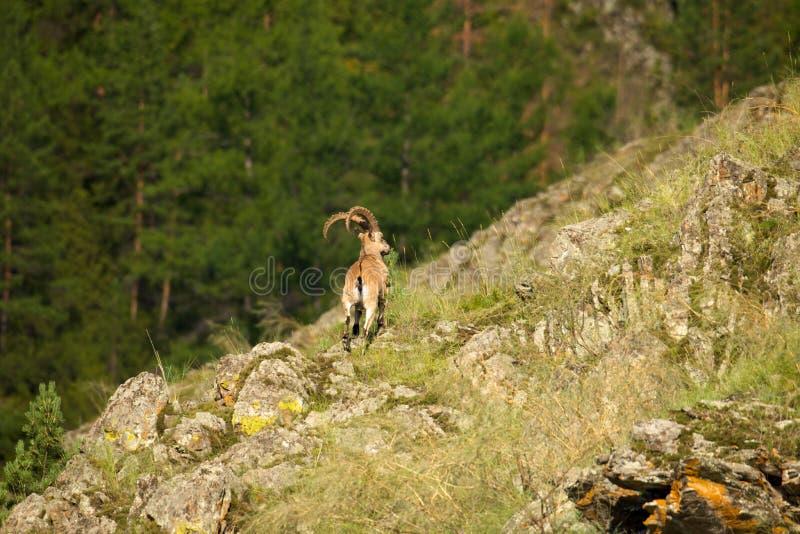 Stambecco su un fondo della foresta verde nelle montagne immagine stock