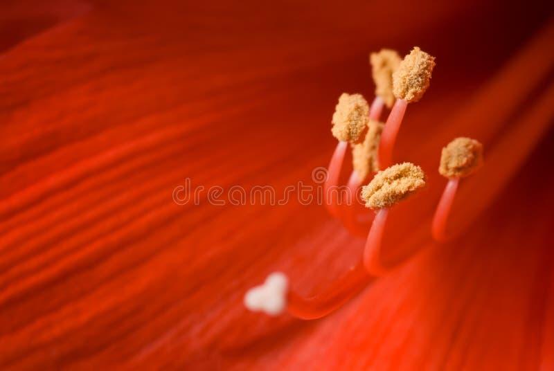 Stamen del hippeastrum. immagini stock libere da diritti