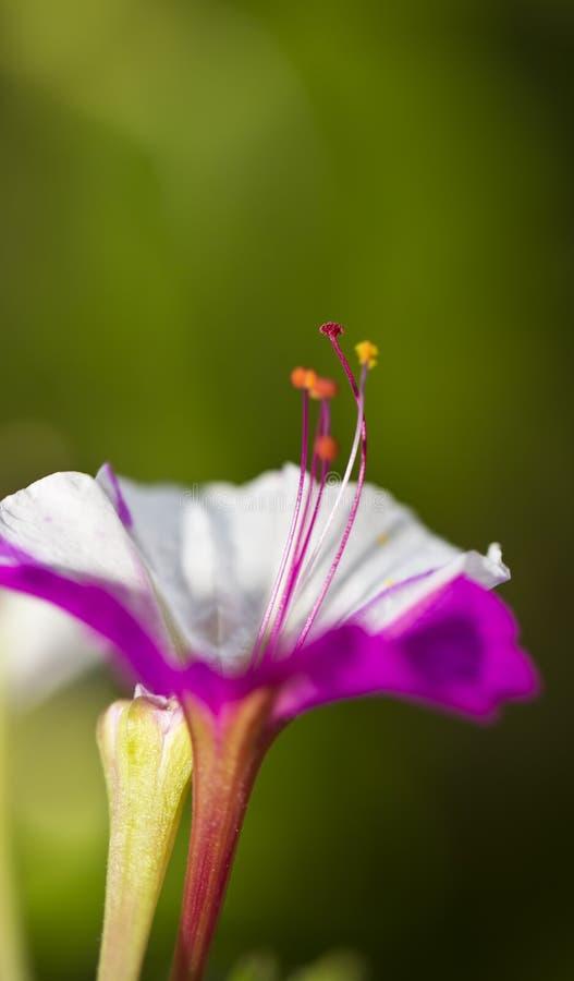 Stamen kwiat fotografia stock