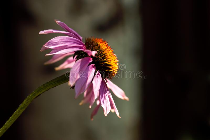Purple Echinacea Flower royalty free stock photos