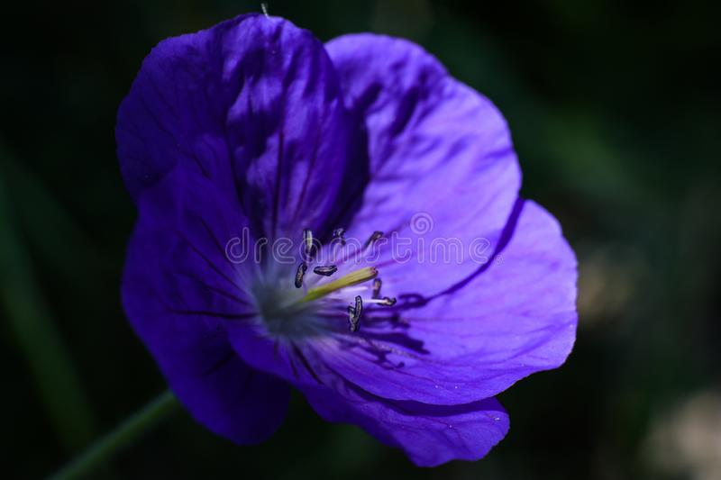 Stamens on beautiful violet flower in light spot royalty free stock image