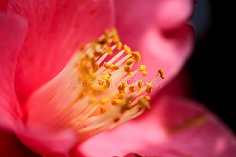 The stamens of the camellia stock image image of mountains download the stamens of the camellia stock image image of mountains stewartia 109055861 mightylinksfo