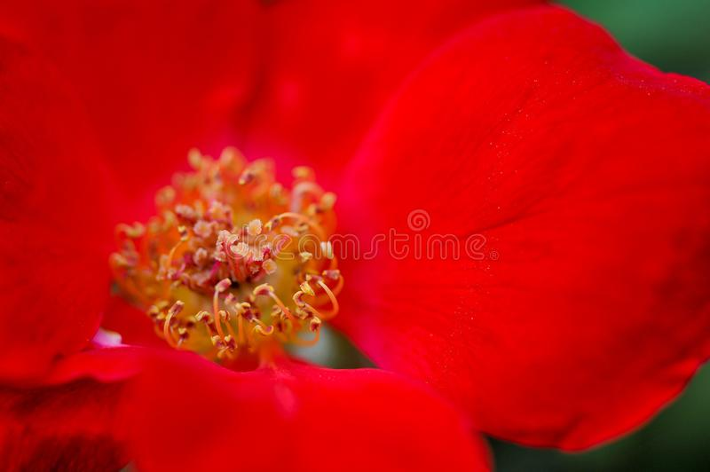 The stamens of the Camellia. The rich red, the golden pistil, the gorgeous color stock photography