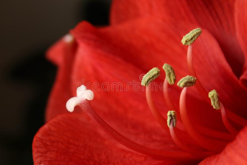 Stamens closeup. On some red lily royalty free stock photo