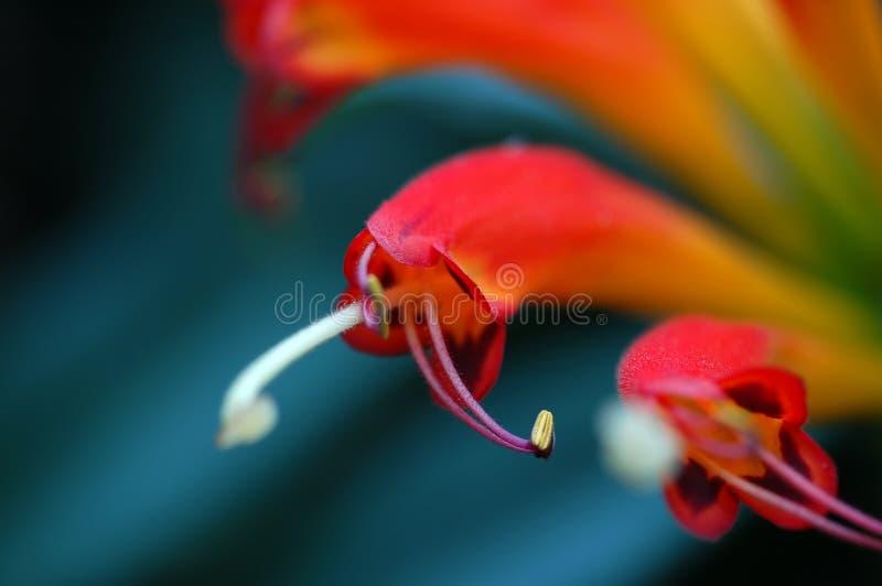 Stamens de fleur photo libre de droits