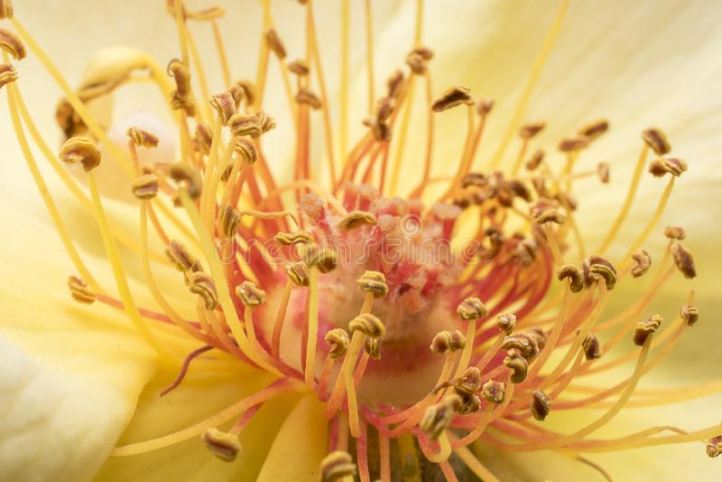 Stamens et pétales de rose Fermeture détaillée Photographie macro photos stock