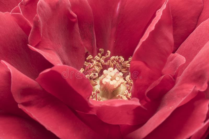 Stamens et pétales de rose Haut ?troit de d?tail Macro photographie image stock