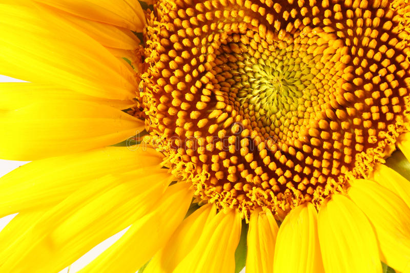 Stamens in the form of heart. On a sunflower royalty free stock images