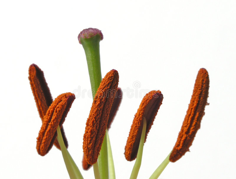 Download Stamens Isolated stock image. Image of pods, plant, closeup - 176725