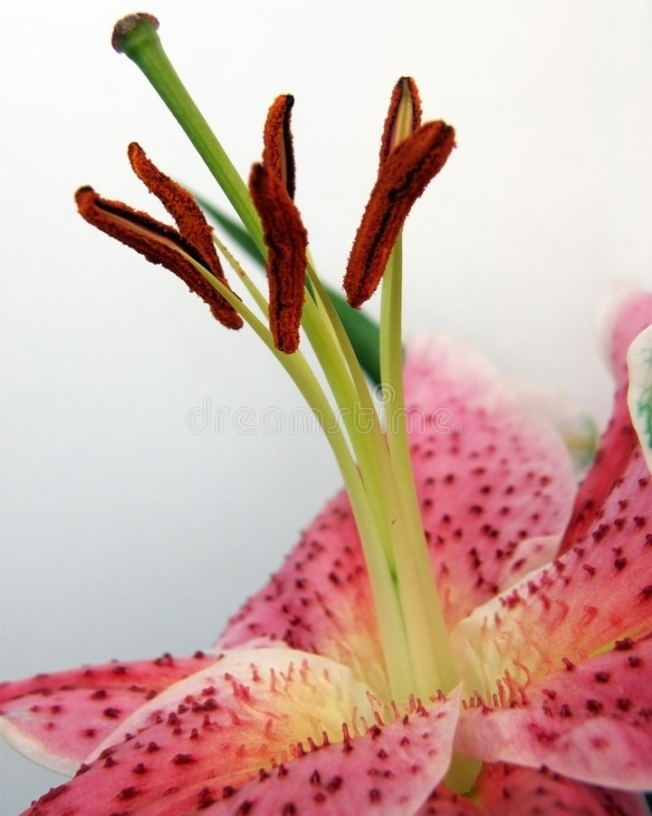 Stamens of a Lily flower royalty free stock images