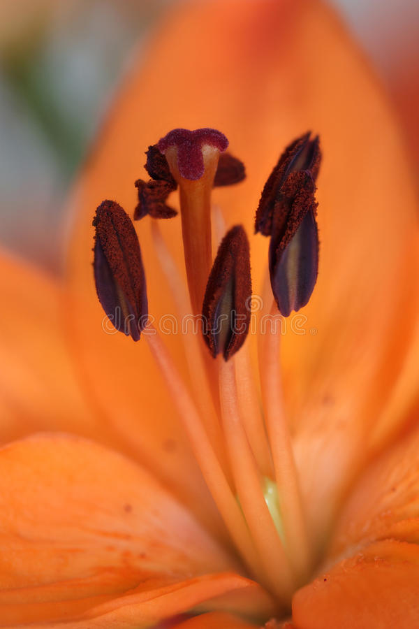 Download Stamens of orange Lily stock photo. Image of blossom - 19500726