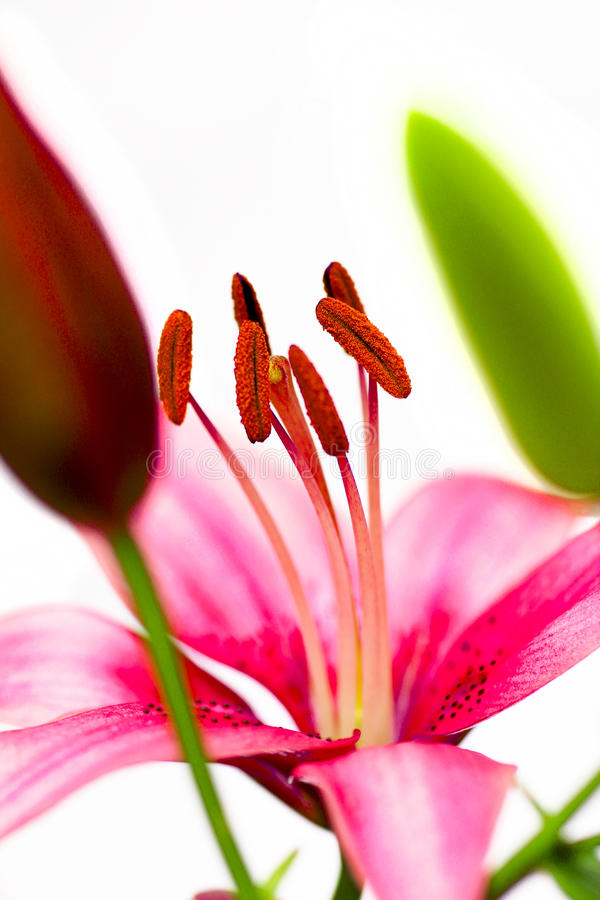 Download Stamens pink lilies. stock image. Image of beauty, decorative - 30016735