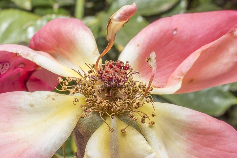 Stamens and rose petals. Detail close up. Macro photography stock photo