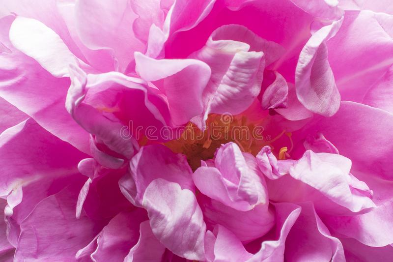 Stamens and rose petals. Detail close up. Macro photography stock photos