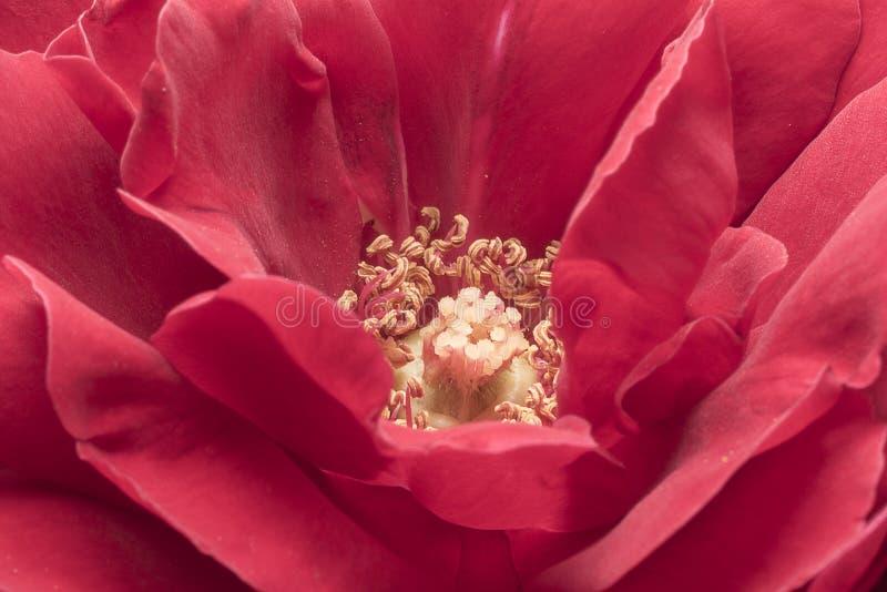 Stamens and rose petals. Detail close up. Macro photography stock image