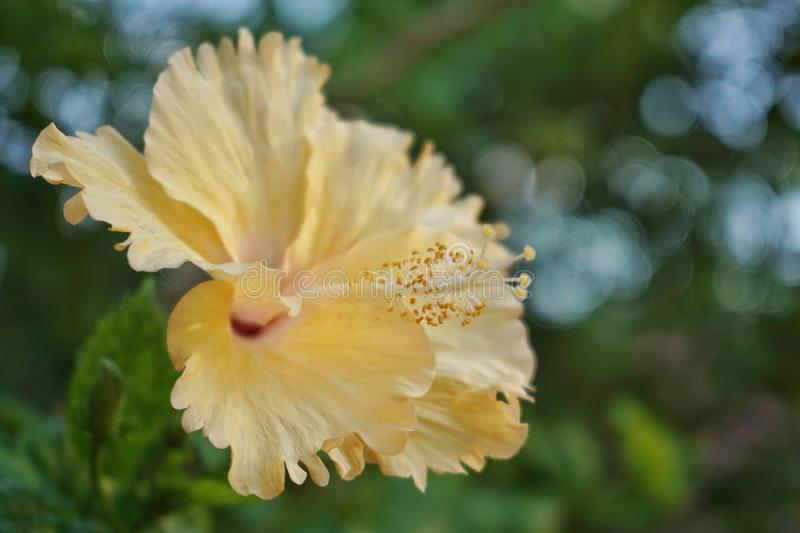 The stamens. Of yellow flower stock photos