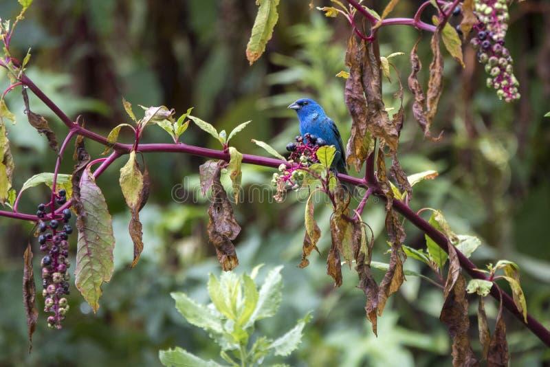 Stamina di indaco nell'habitat della pianta di Pokeberry fotografia stock