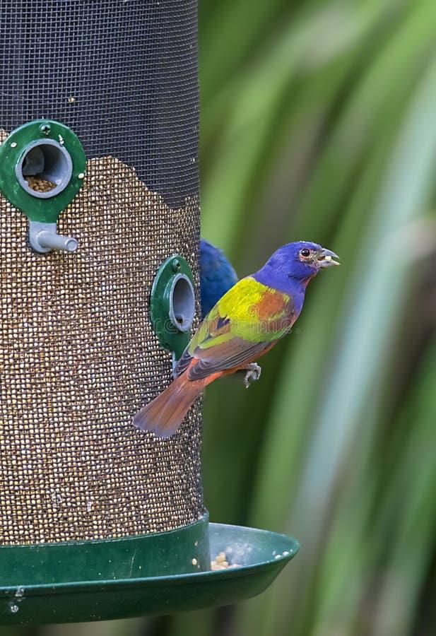 Stamina dipinta maschio su un alimentatore dell'uccello fotografie stock libere da diritti