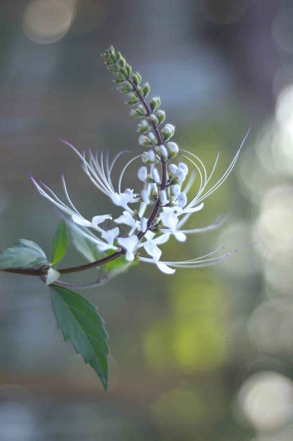 Stamineus de Orthosiphon da flor da erva com bokeh foto de stock