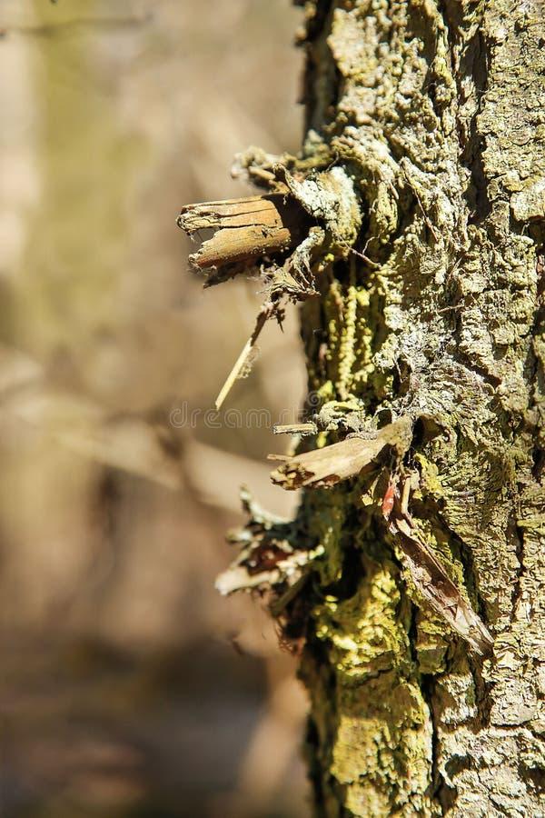 Stamm, der allein im Baum des Waldes bedeckt in den Weibchen steht stockfotos