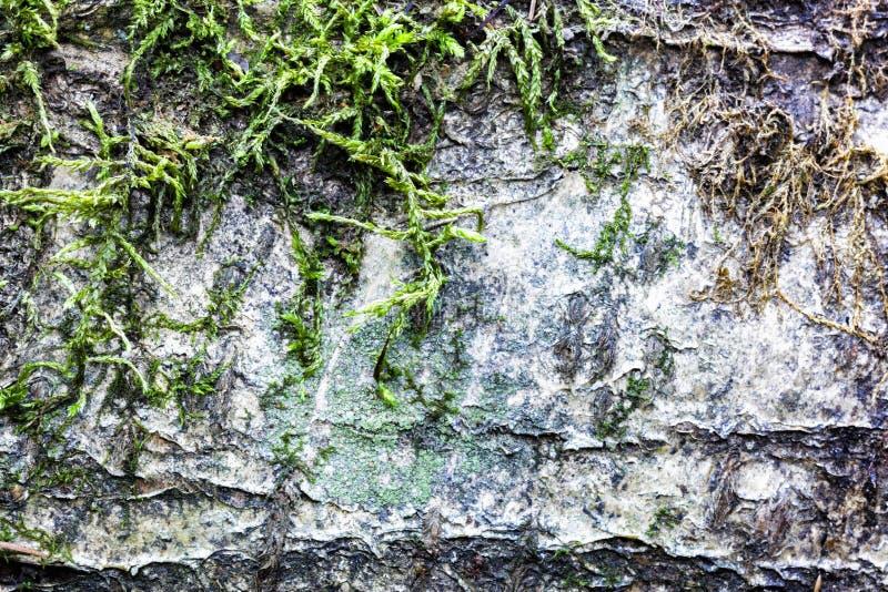 Stamm der Birke bedeckt mit altem Baumabschluß des Mooses herauf Schuss der Birkenrinde stockbild