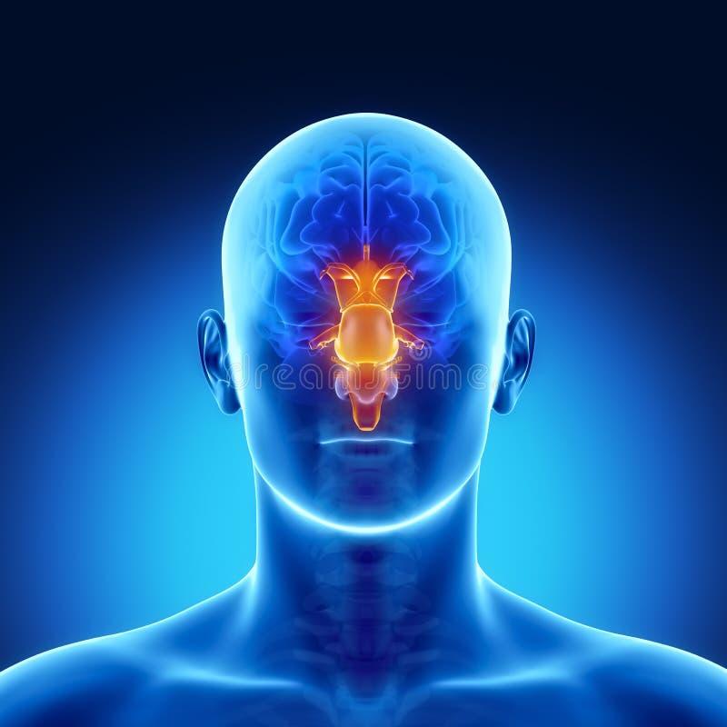 STAMM in der männlichen Gehirnteilanatomie stock abbildung