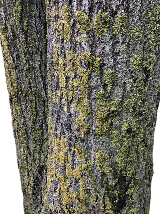 Stamm des alten kranken Baums bedeckt mit dem Pilz lokalisiert auf Weiß stockfotografie