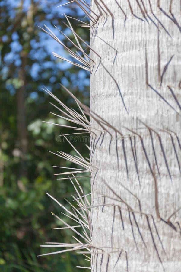 Stamm einer stacheligen Palme Ein Abschluss herauf Farbbild der Spitzen auf dem Hintergrund des Grüns stockfotografie