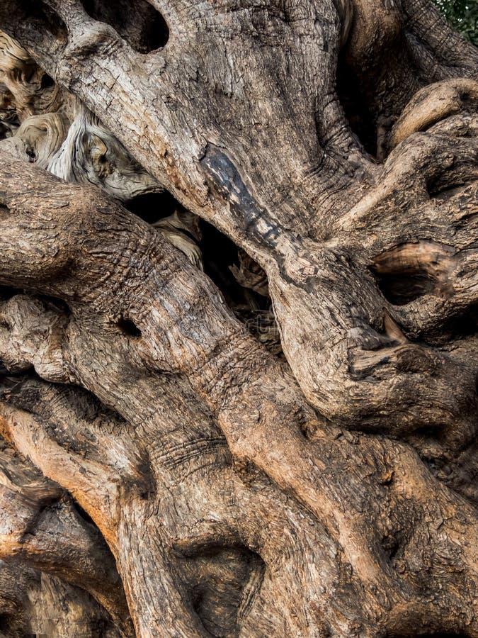 Stamm eines alten Olivenbaums lizenzfreie stockbilder
