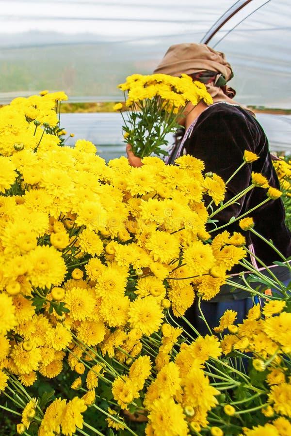 Stamm Hmong-Frauen, die gelbe Gartennelkenblumen im Gewächshaus ernten Gartennelkenblumen sind in der Blüte im Gewächshaus lizenzfreie stockbilder