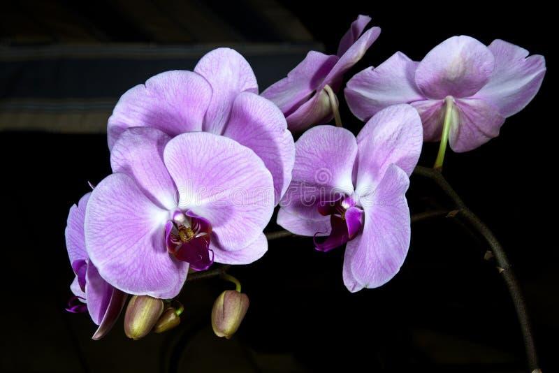 Stamm von Blumen und von Knospen auf einer Phalaenopsis-Orchidee stockfotos