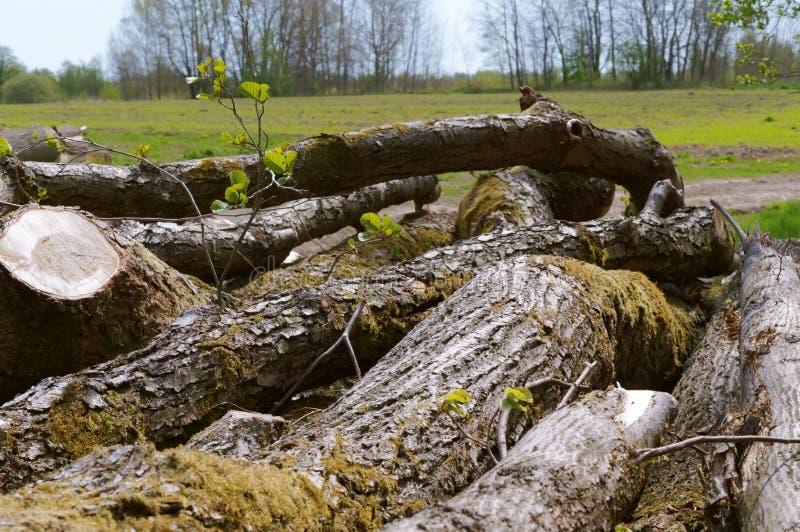 Stammar av avverkade träd, avverkade träd arkivbild