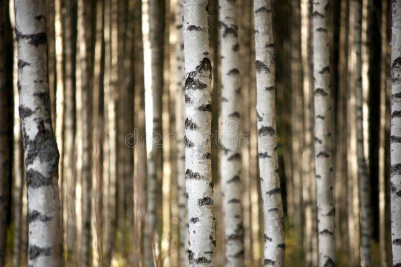 Stammar av björkträd arkivfoto