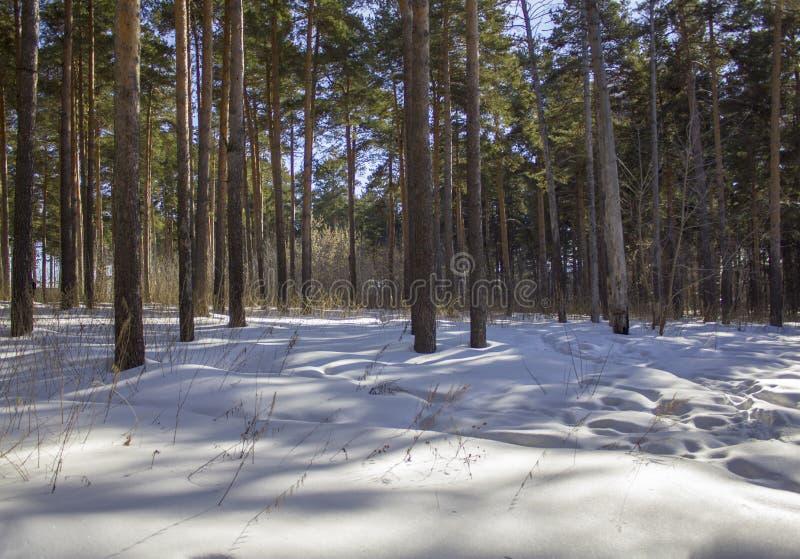 Stammar av gröna barrträd i vinterskogen royaltyfria foton