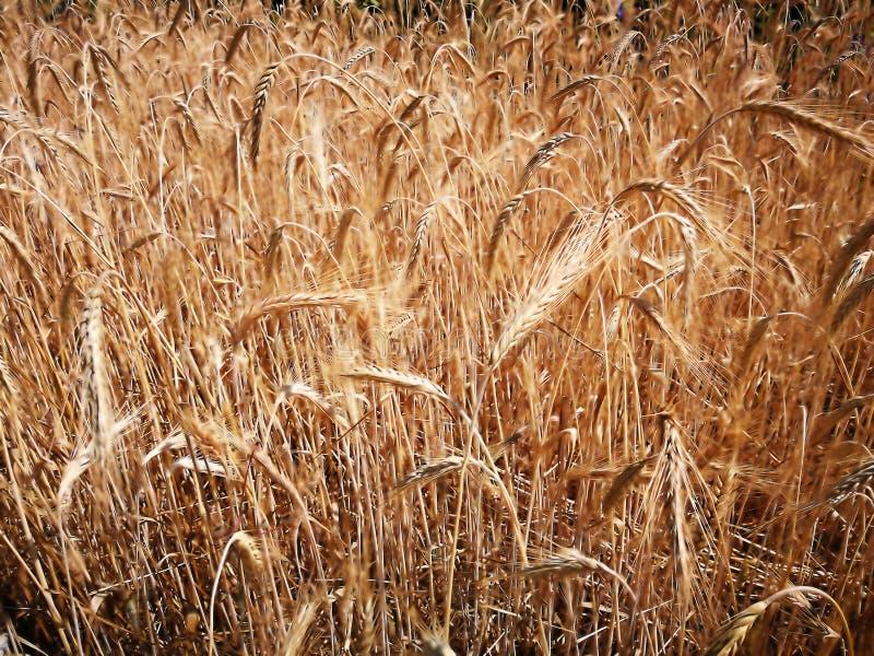Stammar av moget vete i fält under strålsommarsolen royaltyfri fotografi