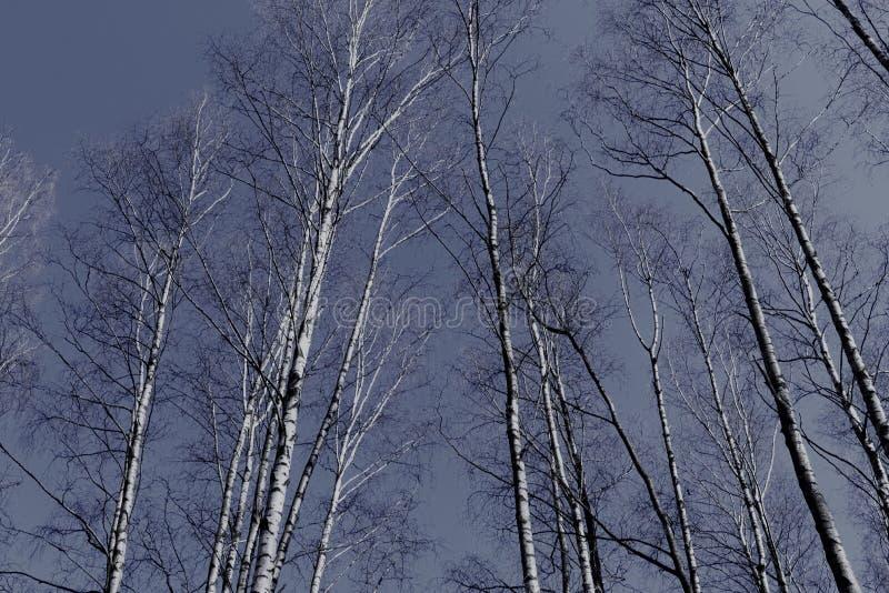 Stammar av ryska björkträd mot bakgrunden av vårhimlen royaltyfri foto