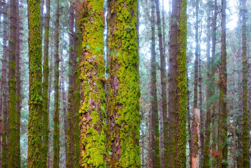Stammar av sörjer i skog royaltyfri foto