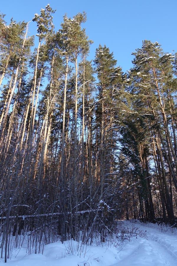 Stammar av träd och sörjer, är det dyrt i de skogsnön och snödrivorna arkivbilder