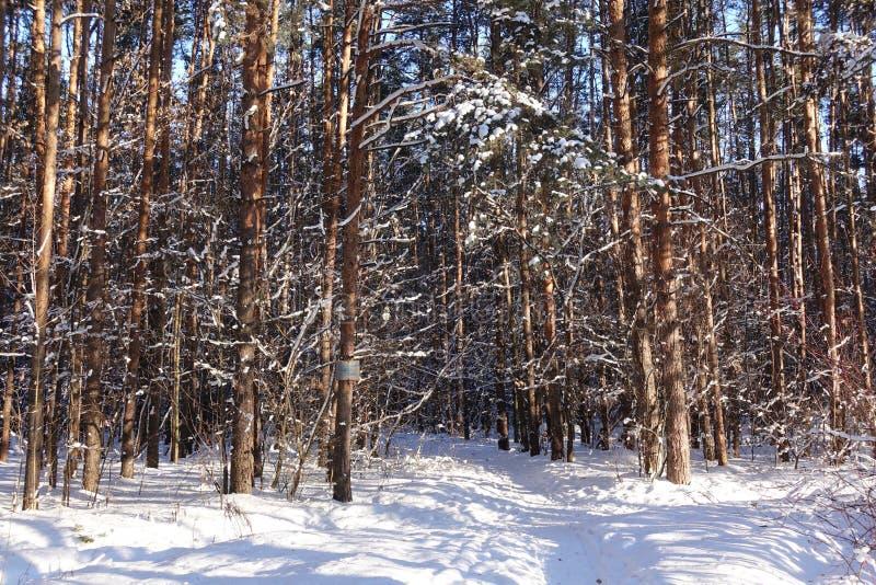 Stammar av träd och sörjer, är det dyrt i de skogsnön och snödrivorna arkivbild