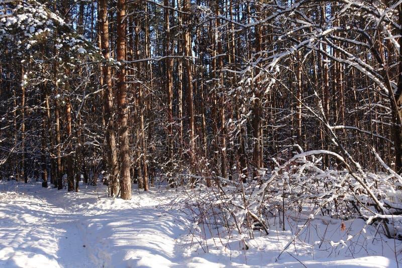 Stammar av träd och sörjer, är det dyrt i de skogsnön och snödrivorna royaltyfri fotografi