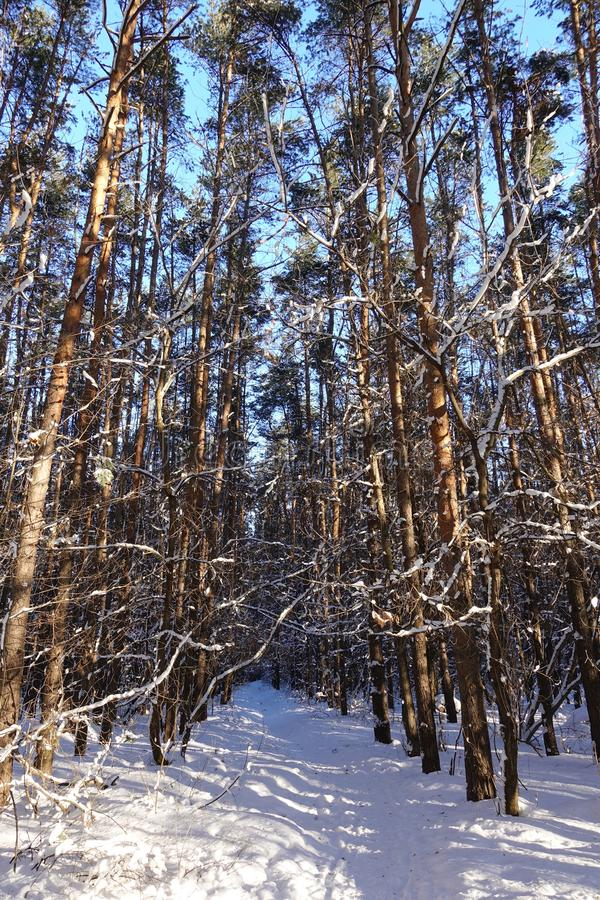 Stammar av träd och sörjer, är det dyrt i de skogsnön och snödrivorna royaltyfria foton