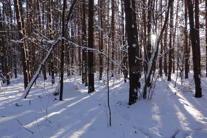 Stammar av träd och sörjer, är det dyrt i de skogsnön och snödrivorna fotografering för bildbyråer