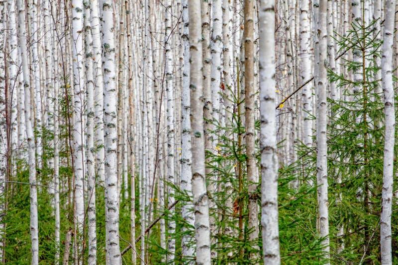 Stammar för träd för björkskog vita i höst arkivbild