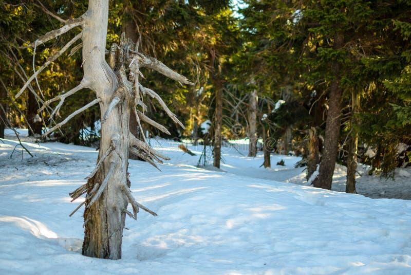 Stammen av ett gammalt sörjer på en bakgrund av gräsplan sörjer skogen i vinter Mycket snö på den soliga dagen för vinter fotografering för bildbyråer