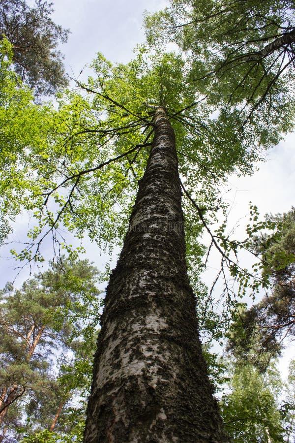 Stammen av ett träd fotograferas underifrån på en bakgrund av filialer och himlen arkivbilder