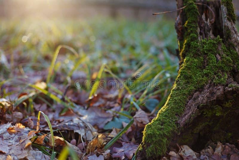 Stammen av ett träd som täckas med mossa i en skogglänta med gre arkivbilder